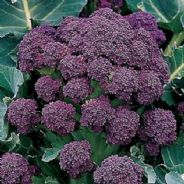 Broccoli Rudolph Extra Early - Appx 240 Seeds